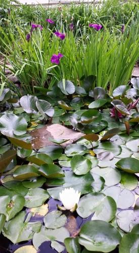 pond blooming - June 2015