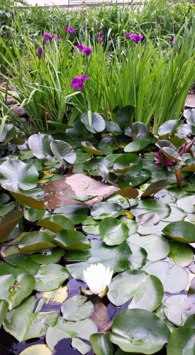 pond blooming - June 2015